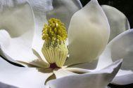 magnolia-1077384__480