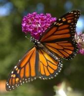 butterfly-2665318__480