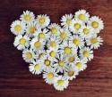daisy-1403041__480
