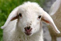 sweet Lamb