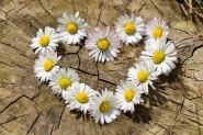 daisy-712892__480