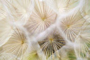 dandelions-691928__480
